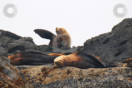 Sealion stock photo, Three sealion together on the beach by Wolfgang Zintl