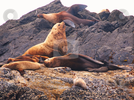 Sealion stock photo, Sealions together on the beach by Wolfgang Zintl