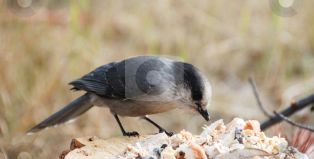 Grey jay stock photo, Close up shoot of an grey jay eating by Wolfgang Zintl