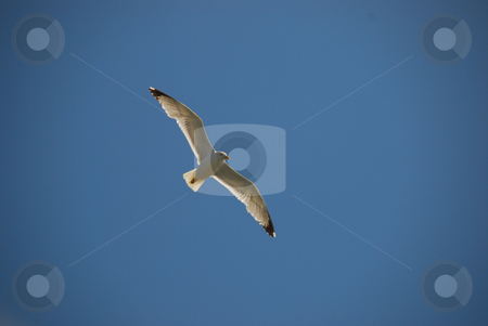 White bird stock photo, Flying white bird agains the blue sky by Wolfgang Zintl