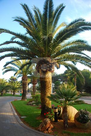 Mallorca stock photo, Palm trees on the island mallorca spain by Wolfgang Zintl