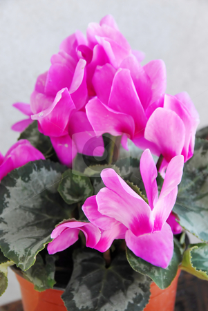 Pink cyclamen stock photo, Natural blooming pink cyclamen in flowerpot over gray by Julija Sapic