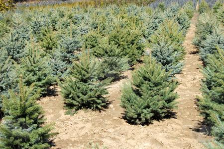 Fir garden center stock photo, Natural green conifer fir planting garden outdoor by Julija Sapic