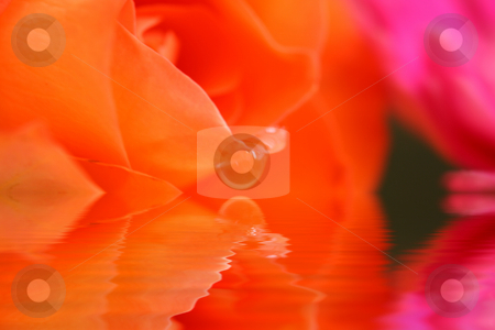 Rose abstract  stock photo, Abstract rose reflected in a pool of water with soft focus for effect by Stephen Mcnally
