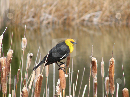 Blackbird stock photo, Yellow headed blackbird in the spring morning by Wolfgang Zintl
