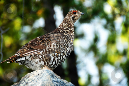 Grouse stock photo, Close up shoot of a sprouce grouse hen by Wolfgang Zintl