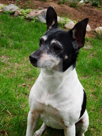 Rat Terrier stock photo, Zsa Zsa, a Rat Terrier, 8 years old. by James Spence