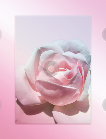 Rose background stock photo, Pink rose background by Kirsty Pargeter