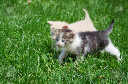 Kittens stock photo, Two kittens with blue eyes walking through grass. by Ivan Paunovic