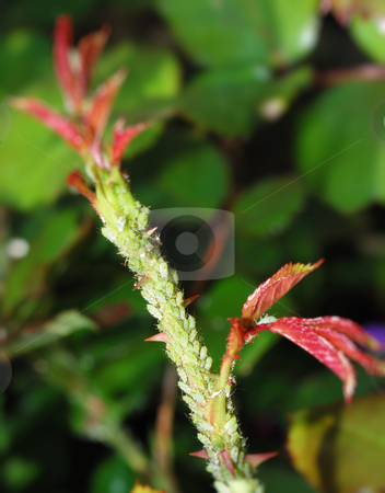 Aphids on rose stem stock photo, Masses of green aphids on rose stem. by Ivan Paunovic