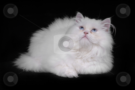 White cat stock photo, Young white kitten isolated on black background by Rui Vale de Sousa