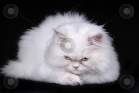 Sad cat stock photo, Young white sad kitten isolated on black background by Rui Vale de Sousa