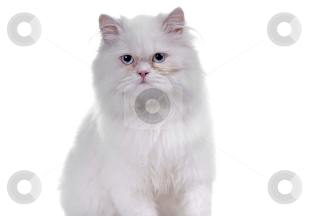 White cat stock photo, White cat with blue eyes. On a white background by Rui Vale de Sousa