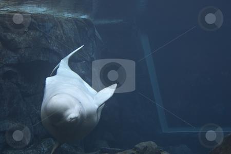 Beluga Whale stock photo, A Beluga whale swimming by Matt Baker