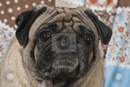 Portrait of Male Pug Dog stock photo, Portrait of 4 year old male Pug dog by Steve Carroll