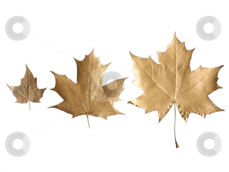 Golden leaves stock photo, The row of golden maple leaves of different size by Sergej Razvodovskij