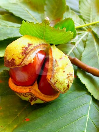 Chestnut stock photo, Chestnut on the chesnut-tree leaves by Sergej Razvodovskij