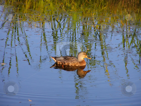 Duck at the lake stock photo, Duck at the lake by Sergej Razvodovskij