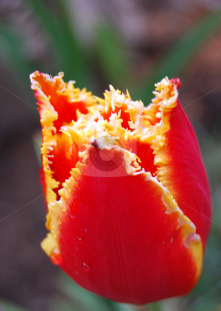 Tulip Aleppo  stock photo, Tulip Aleppo in natural light by Leyla Akhundova