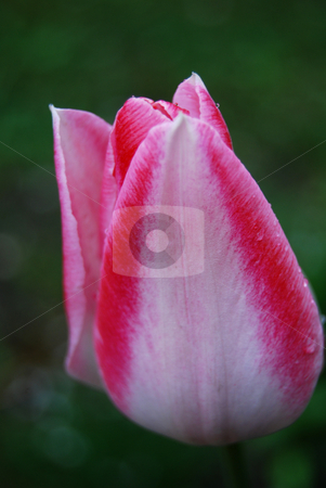 Tulip stock photo, Close-up tulip Mata Hari with rain drops by Leyla Akhundova