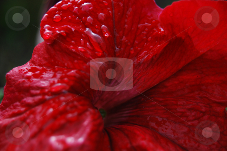 Red petunia stock photo, Close-up red petunia with rain drops on the petals by Leyla Akhundova