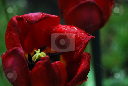 Faded red tulip after the rain  stock photo, Faded emperor red tulip with rain drops in the garden by Leyla Akhundova
