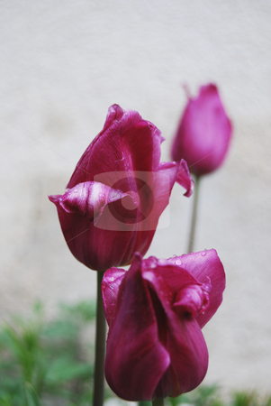 Three tulips  stock photo, Purple tulips rain drops with  in the garden by Leyla Akhundova