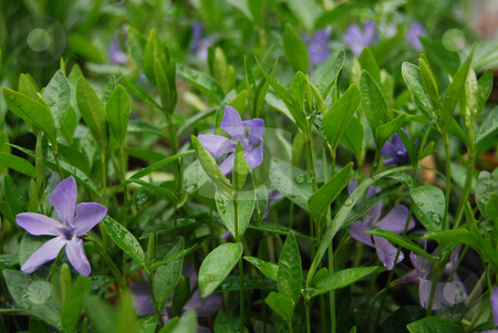 Periwinkle with rain drops stock photo, Periwinkles in the garden after the rain by Leyla Akhundova