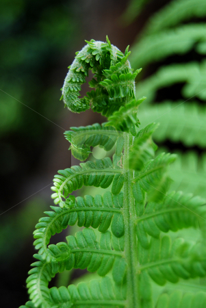 Baby fern stock photo, Close-up furl fern by Leyla Akhundova