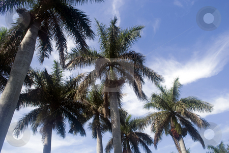 Palm Trees in Florida stock photo, Group of palm trees in fort lauderdal florida agains a blue sky by Robert Cabrera