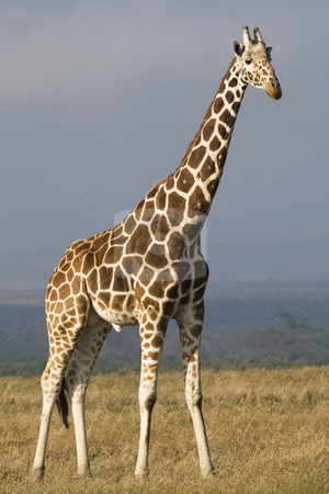Reticulated Giraffe stock photo, Reticulated Giraffe, Giraffa camelopardalis reticulata, Sweetwaters Game Reserve, Republic of Kenya, Eastern Africa by mdphot