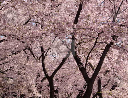 Cherry Blossom trunks and flowers stock photo, The blossom and trunks of the Cherry Blossom trees dominate the frame by Steven Heap