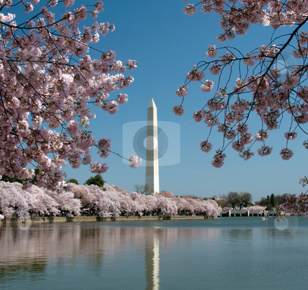 Washington Monument reflected in tidal basin stock photo, Cherry Blossoms surrounding Washington Monument and reflected in Tidal Basin by Steven Heap