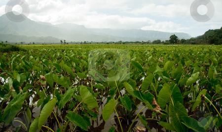 Taro plants in Hanalei valley stock photo, Close-up of Taro leaves in the Hanalei valley in Kauai by Steven Heap
