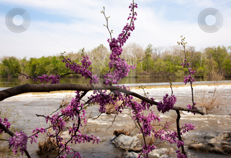 Close-up of red blossoms by Potomac Dam stock photo, The dam on the Potomac river by Great Falls with spring blossom in foreground by Steven Heap
