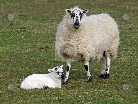 A sheep with its baby lamb. stock photo, A sheep with its baby lamb. by Stephen Rees