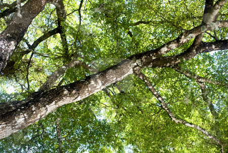 Tree Canopy  stock photo, Detailed view of a Black Olive tree canopy by Robert Cabrera
