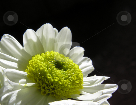 Daisy on black background stock photo,  by Kirsty Pargeter