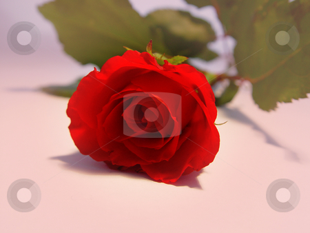 Red Rose stock photo,  by Kirsty Pargeter