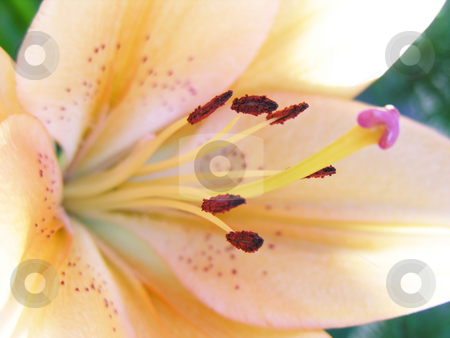 Lily stock photo, Extreme close up of a lily with very shallow depth of field used by Kirsty Pargeter