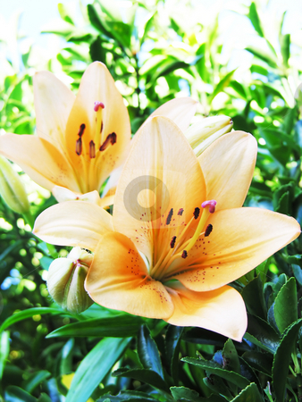 Lillies stock photo, Lillies in a garden by Kirsty Pargeter