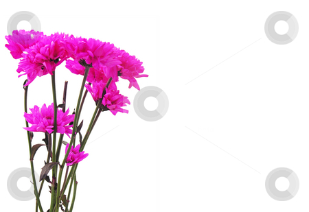 Pink flowers on white background stock photo,  by Kirsty Pargeter
