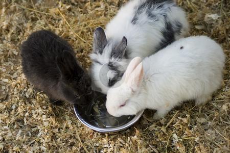 Three rabbits stock photo,  by Fabio Alcini