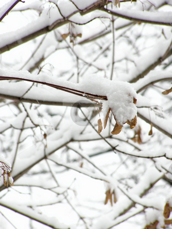 Maple in snow stock photo, Maple branches under the first white snow by Sergej Razvodovskij