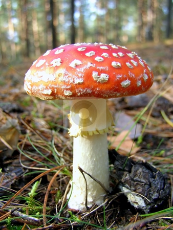 Fly agaric in the forest      stock photo, Fly agaric among dry acerose leaf  in the forest by Sergej Razvodovskij