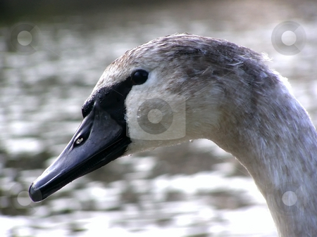 Swan nestling portret stock photo, Portret of swan nestling against of the water background by Sergej Razvodovskij