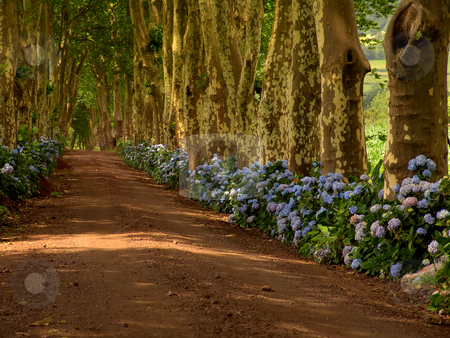 Azores stock photo, Path with tree on two side in azores by Rui Vale de Sousa