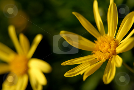 Yellow stock photo, Detail of a yellow daisy among green vegetation by Rui Vale de Sousa