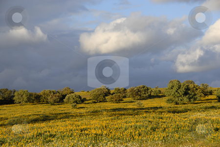 Land stock photo, Yellow flowers in a field, at alentejo, portugal by Rui Vale de Sousa