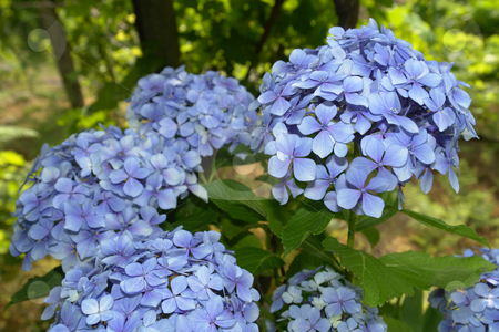 Hydrangea stock photo, Hortensia (Hydrangea Macrophylla) typical flower of azores by Rui Vale de Sousa
